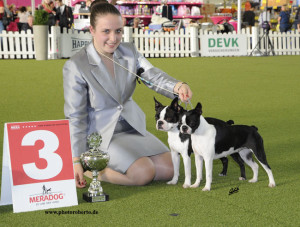 Boston Terrier Champion Rüde  Deckrüde Columbo Vigor-Gemini´Habibi Boston Feiri Polli Fairy Polly